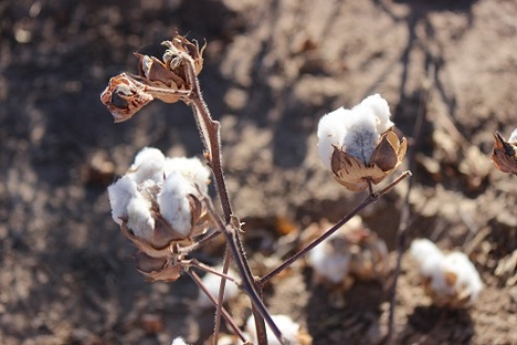 Cotton flower 2017 harvest